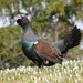Capercaillies and Black Grouse - Photo (c) chorthippus, some rights reserved (CC BY-NC)