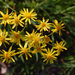 Balsam Ragwort - Photo (c) Peter Gorman, some rights reserved (CC BY-NC-SA)