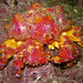 Lopholithodes - Photo (c) Jackson W.F. Chu, some rights reserved (CC BY-NC-SA)
