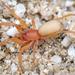Arañas de Dos Ojos - Photo (c) Marshal Hedin, algunos derechos reservados (CC BY-NC-SA)