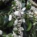 Calycophyllum candidissimum - Photo (c) Neptalí Ramírez Marcial, osa oikeuksista pidätetään (CC BY-NC)