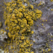 Goldspeck Lichens - Photo (c) klips, some rights reserved (CC BY-NC)