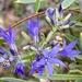 Billardiera variifolia - Photo (c) Loxley Fedec, some rights reserved (CC BY-NC)