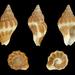 Pollia fumosa - Photo (c) H. Zell, algunos derechos reservados (CC BY-SA)