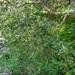 Myrcianthes minimifolia - Photo (c) Gonzalo Martinez, algunos derechos reservados (CC BY-NC)