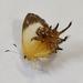 Helicopis cupido - Photo (c) Rosângela Souza, μερικά δικαιώματα διατηρούνται (CC BY)