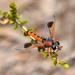 Miltinus cinctus - Photo (c) Jean Hort, algunos derechos reservados (CC BY-NC)