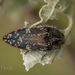 Acmaeodera mudgei - Photo (c) Felix Fleck, algunos derechos reservados (CC BY-NC)