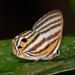 Euselasia pallantis - Photo (c) Ken Kertell, algunos derechos reservados (CC BY-NC)