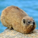 Rock Hyrax - Photo (c) Colin Ralston, some rights reserved (CC BY-NC)