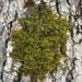 Pylaisia intricata - Photo (c) Tom Neily, algunos derechos reservados (CC BY-NC)