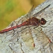 Saffron-winged Meadowhawk - Photo (c) Denis Doucet, some rights reserved (CC BY-NC)