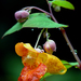 Impatiens capensis - Photo (c) James Gaither, μερικά δικαιώματα διατηρούνται (CC BY-NC-ND)