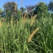 Napier Grass - Photo (c) adean042, some rights reserved (CC BY-NC)