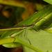 Paraphasma - Photo (c) sandralamberts, algunos derechos reservados (CC BY-NC)