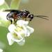 Cheloninae - Photo (c) Martin R. Lucas, μερικά δικαιώματα διατηρούνται (CC BY-NC)