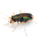 Metallic Tiger Beetles - Photo (c) A. Jaszlics, some rights reserved (CC BY-NC)