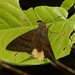 Telegonus anaphus - Photo (c) Ken Kertell, algunos derechos reservados (CC BY-NC)