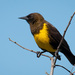 Brown-and-yellow Marshbird - Photo (c) Cláudio Dias Timm, some rights reserved (CC BY-NC-SA)