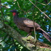 Dusky-legged Guan - Photo (c) Dario Sanches, some rights reserved (CC BY-SA)