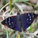 Zafiro Púrpura - Photo (c) Cláudio Dias Timm, algunos derechos reservados (CC BY-NC-SA)