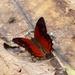 Lasiophila orbifera - Photo (c) Andrew Neild, algunos derechos reservados (CC BY-NC-ND)