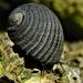 Caracoles Neritas de Branquias - Photo (c) Bob Peterson, algunos derechos reservados (CC BY-SA)