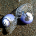 Violet Sea Snail - Photo no rights reserved