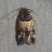 Triclonella determinatella - Photo (c) Chuck Sexton, algunos derechos reservados (CC BY-NC)