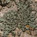 Phaeophyscia rubropulchra - Photo (c) klips, algunos derechos reservados (CC BY-NC)