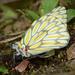 Mariposas Garabato - Photo (c) Ken Kertell, algunos derechos reservados (CC BY-NC)