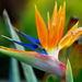 Flores de Ave del Paraíso - Photo (c) icomei, algunos derechos reservados (CC BY-NC-SA)