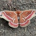 Ceanothus Silk Moth - Photo (c) meliains, some rights reserved (CC BY-NC)