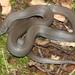 Lycodonomorphus inornatus - Photo (c) Alex Rebelo,  זכויות יוצרים חלקיות (CC BY-NC)