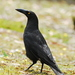 Black Currawong - Photo (c) Tan Kok Hui, some rights reserved (CC BY-NC)