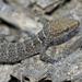 Gecko - Photo (c) Nicolas Olejnik, algunos derechos reservados (CC BY-NC)