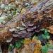 Trichaptum abietinum - Photo (c) Almantas Kulbis, μερικά δικαιώματα διατηρούνται (CC BY-NC)