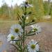Symphyotrichum pilosum pringlei - Photo (c) Warren Dunlop, algunos derechos reservados (CC BY-NC)