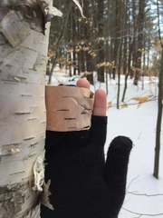 photo of a gloved hand holding paper birch bark away from the tree so the color underneath can be seen without breaking the bark