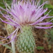 Wavyleaf Thistle - Photo (c) Matt Lavin, some rights reserved (CC BY-SA)