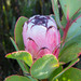 Protea stokoei - Photo (c) Peter Thompson, algunos derechos reservados (CC BY-NC)