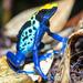 Dendrobates tinctorius - Photo (c) Wirley Almeida Santos, algunos derechos reservados (CC BY-NC)