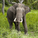 Asian Elephant - Photo (c) Yathin S Krishnappa, some rights reserved (CC BY-SA)