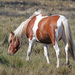 Domestic Horse - Photo (c) Judy Gallagher, some rights reserved (CC BY), uploaded by Judy Gallagher