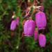 Daboecia cantabrica - Photo (c) -Merce-, μερικά δικαιώματα διατηρούνται (CC BY-SA)