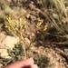 Eriogonum hieraciifolium - Photo ללא זכויות יוצרים