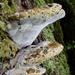 Pseudoinonotus dryadeus - Photo (c) Richard Tehan, algunos derechos reservados (CC BY-NC)