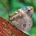Mariposa Búho de Banda Dividida - Photo (c) Eduardo Axel Recillas Bautista, algunos derechos reservados (CC BY-NC)