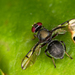 Pogonortalis doclea - Photo (c) Graham Wise, algunos derechos reservados (CC BY)