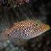 Spotted Sharpnose Puffer - Photo (c) Fernando Olea, some rights reserved (CC BY-NC)